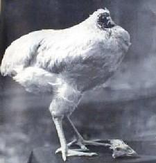 headlesschicken