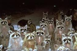 raccoonhorde