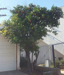 orangetree6